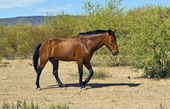 Hungry Horse Trotting in the Desert — Stock Photo
