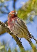 Sedona House Finch Watching — Stock Photo