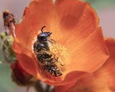 眠っている蜂 — ストック写真