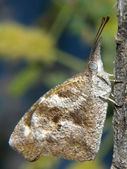 Arizona Snout Nosed Butterfly — Stock Photo