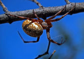 паук ожидания — Стоковое фото