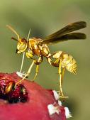 Kaktüs meyve sarı arizona ya — Stok fotoğraf