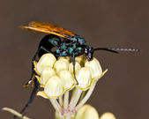 Macro Photo of an Arizona Wasp on Milkweed — Stock Photo