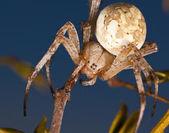 Západní strakaté orb tkadlec pavouk — Stock fotografie