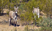 Burros selvagens do arizona — Foto Stock