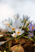 Vertical, white crocuses — Stock Photo
