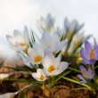 Vertical, white crocuses - Foto Stock
