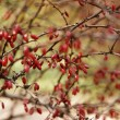 Barberry — Stock Photo #4443561