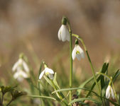 Snowdrop — Stock Photo