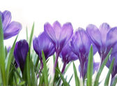 Crocuses on white — Stock Photo
