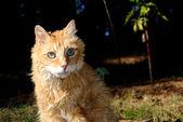 Geriatriska manligt orange katt — Stockfoto