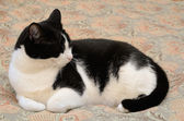 House Cat — Stock Photo