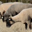 Suffolk Sheep — Stock Photo