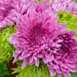 Chrysanthemums — Stock Photo #5292589