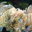 Red Lionfish — Stockfoto #5292746