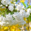 Stock Photo: Blooming tree