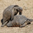 Stock Photo: Couple of turtles making love in centre of Athens, Greece