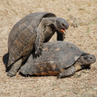 Stock Photo: Turtles having sex