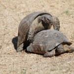 Turtles having sex — Stock Photo