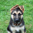 Cute puppy , German shepherd dog — Stock Photo