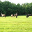 Horses in pasture — Stock Photo