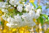 Blühender baum — Stockfoto