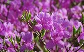 Magenta rhododendron — Stock Photo