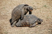 Turtles having sex — Stock Photo