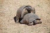 želvy mají sex — Stock fotografie