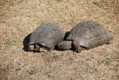 Couple of turtles making love in the centre of Athens, Greece — Stock Photo