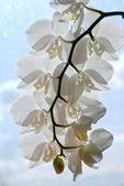 完美白色兰花 — 图库照片