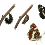 The Map (Araschnia levana) butterfly metamorphosis — Stock Photo