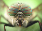 Hybomitra horse fly head closeup — Stock Photo