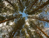 Background of the branches of trees, through which the sky can b — Stock Photo