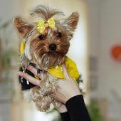 Closeup portrait von einem hund-yorkshire-terrier in den armen von mistr — Stockfoto