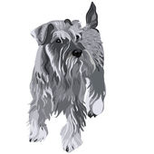 Vector Miniature Schnauzer dog — Stock Vector