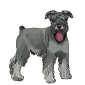 Vector Miniature Schnauzer dog with his tongue hanging out — Stock Vector