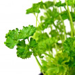 A close up of parsley in a pot — Stock Photo