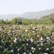 Cotton in farm — 图库照片