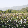 Stock Photo: Cotton in farm
