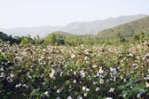 Cotton in farm — Stock Photo