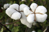 Cotton — Foto Stock