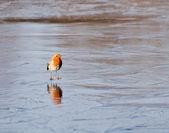 Skating robin — Stock Photo
