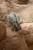 Australia kangaroo — Stock Photo
