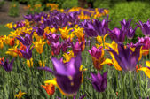 HDR Tulips — Stock Photo