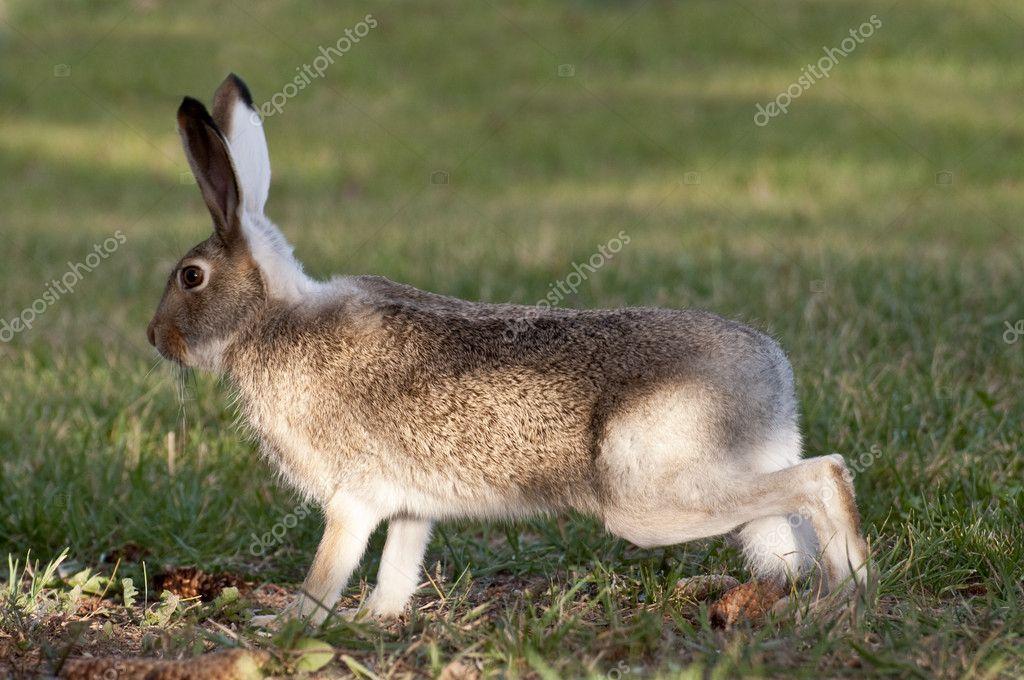 Lapin de garenne sur un pied dalerte photographie - Cuisiner un lapin de garenne ...