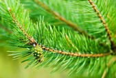 Bump on the background of pine branches — Stock Photo
