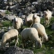 Grazing sheep — Stock Photo #4467083