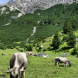 Tirol cows — Stock Photo