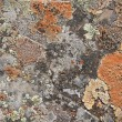 Royalty-Free Stock Photo: Lichen texture
